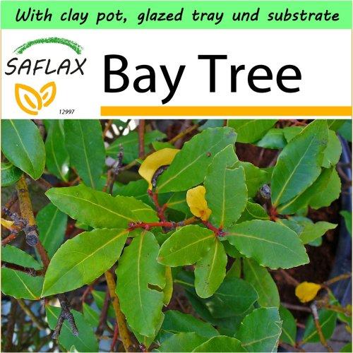 SAFLAX Garden to Go - Bay Tree - Laurus - 6 seeds