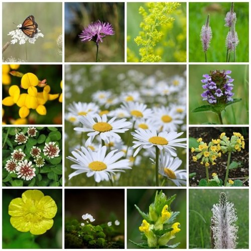 RP Seeds British Native Wildflower Seeds - Traditional Meadow Mix - 2g