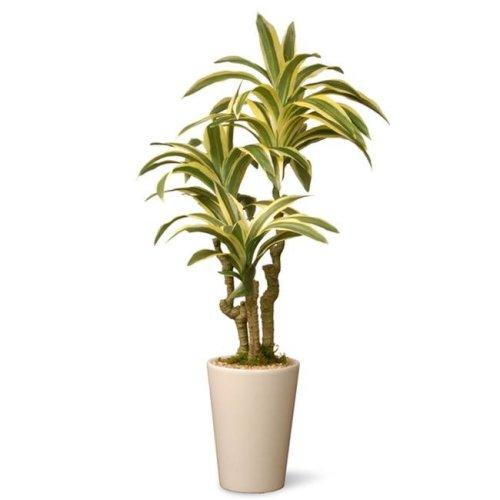 National Tree GAD30-21G 21 in. Dracaena Plant In Ceramic Pot - Green