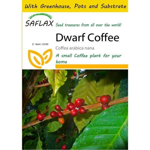 Saflax Potting Set - Dwarf Coffee - Coffea Arabica Nana - 8 Seeds - with Mini Greenhouse, Potting Substrate and 2 Pots