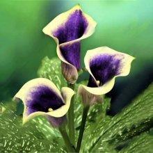 Egrow 50PCS Garden Calla Lily Seeds