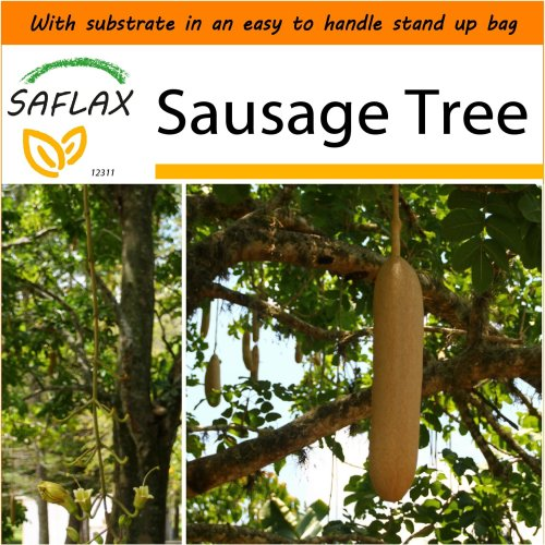 SAFLAX Garden in the Bag - Sausage Tree - Kigelia - 10 seeds