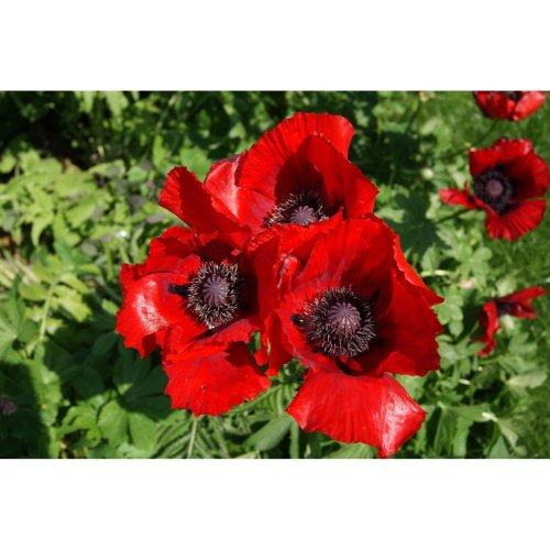 Flower - Oriental Poppy - Beauty of Livermere - 350 Seeds