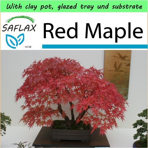 SAFLAX Garden to Go - Bonsai - Red Maple - Acer - 20 seeds