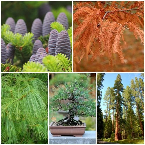 RP Seeds Conifer Tree Seed Collection