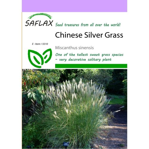 Saflax  - Chinese Silver Grass - Miscanthus Sinensis - 200 Seeds