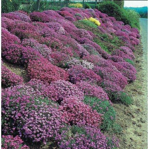 Mr Fothergills - Pictorial Packet - Flower - Aubrietia Cascade Mixed - 200 Seeds
