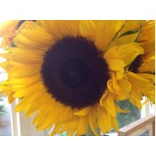 Flower - Sunflower - Giant Single Yellow - 50 Seeds