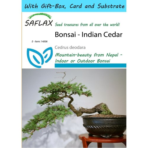 Saflax Gift Set - Bonsai - Indian Cedar - Cedrus Deodara - 35 Seeds - with Gift Box, Card, Label and Potting Substrate