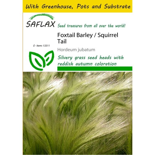Saflax Potting Set - Foxtail Barley / Squirrel Tail - Hordeum Jubatum - 70 Seeds - with Mini Greenhouse, Potting Substrate and 2 Pots