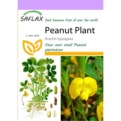 Saflax  - Peanut Plant - Arachis Hypogaea - 8 Seeds