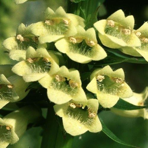 Flower - Digitalis Lutea - Lanata Cafe Creme - 200 Seeds